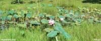 The Lotus Pond a.k.a the Lotus lake park